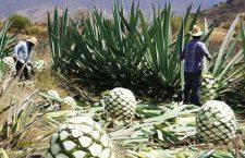 Mezcaleros de Oaxaca frenan denominación de origen que emitió IMPI