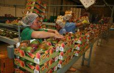 Oaxaca exporta 39 mil toneladas de mango a Norteamérica