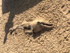 Restos mortais de golfinho são encontrados em praia de Natal