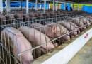 Enfermedad que afecta a los cerdos fue detectada en 11 provincias del país