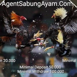 Agen Sabung Ayam Live Streaming
