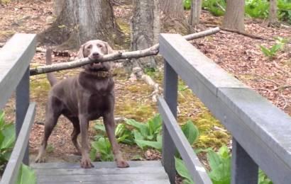 Video Viral : Anjing Yang Bijak !