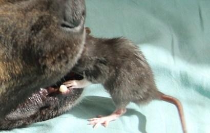 Info Viral: Anjing Berkawan Dengan Tikus !