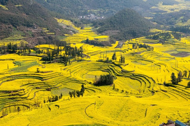 Canola Flower Fields China
