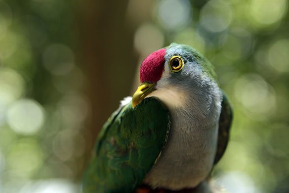 Bosavi crater Beautiful Fruit Dove-jpg