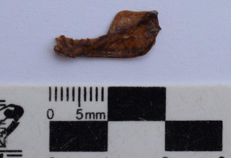 mandibula de Desmodus draculae, el vampiro gigante hallado en Miramar