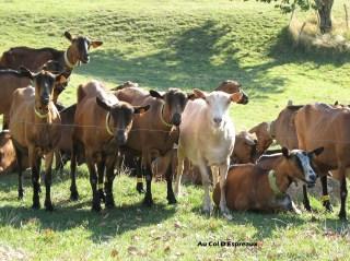 Troupeau de chèvre par Louloup.