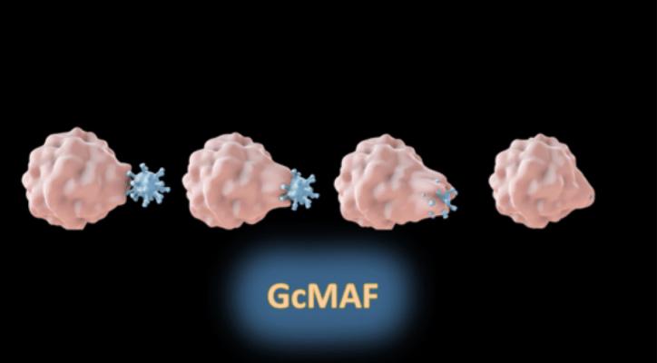 Tal como a microglia no cérebro, o GcMAF come as partículas estranhas nos seus sistemas periféricos.