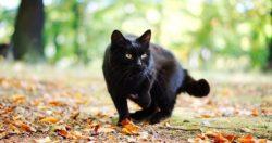 Когда чёрная кошка следует за вами — что это значит и к чему? Приметы