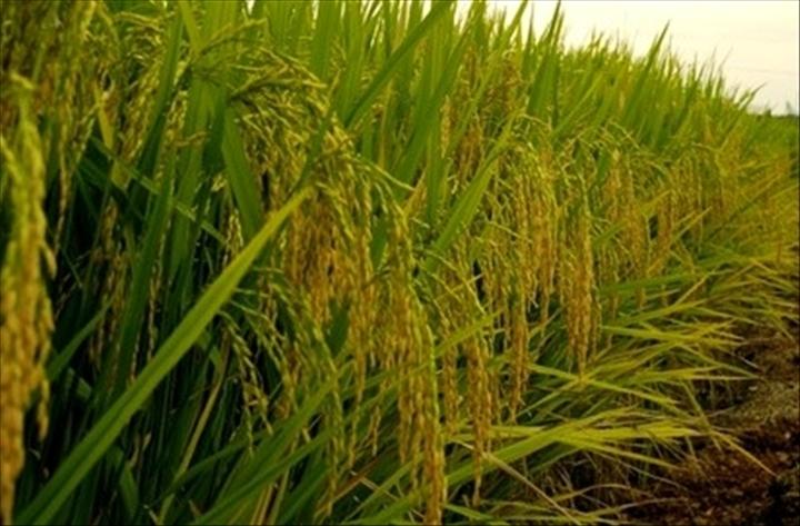Burkina-agriculture: la production couvre 50% des besoins