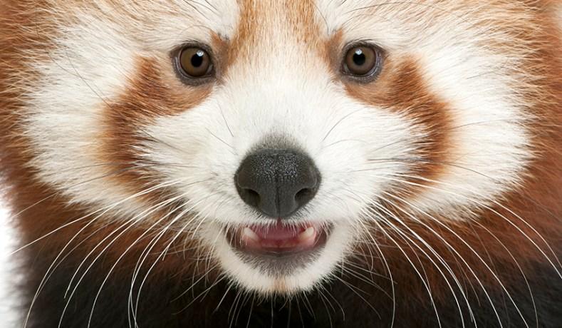 Leefgebied van de rode panda