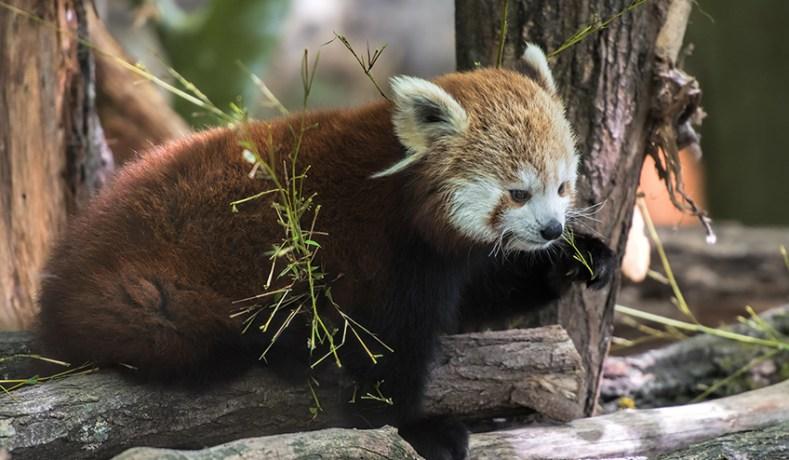 Voedsel rode panda