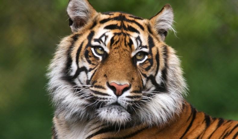 Eigenschappen Siberische tijger