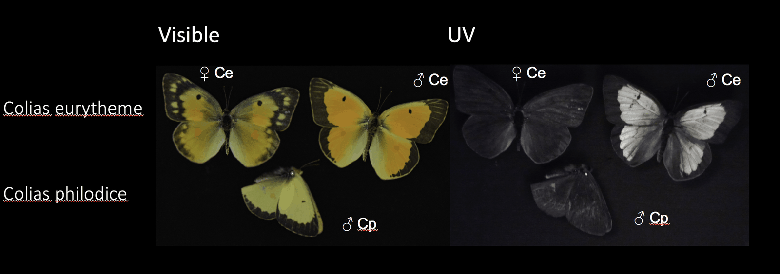 uv butterfly camera image iridescent marking ultraviolet