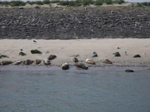 Zeehondjes aan het strandje