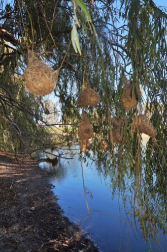 Weavers nests on the pond at Jordan Winery