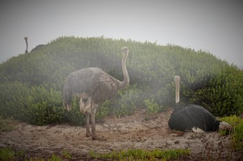 Ostriches in the rain at Cape of Good Hope