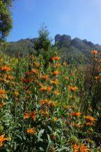 Fynbos at Kirstenbosch