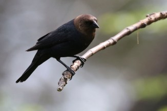 2M7A0854a6 Brown Headed Cowbird male