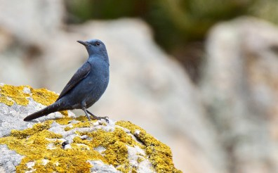 Blue Rock Thrush © Inglorious Bustards