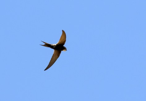 White-rumped Swift by tour participant Simon B of Wader World