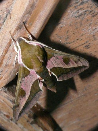 P1570639 Spurge Hawk-moth - Punta Paloma - 25-04-19