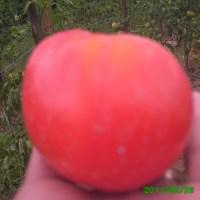 Probleme in cultivarea rosiilor in spatiu deschis