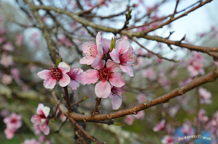 Ingrained | Peach Tree in Bloom