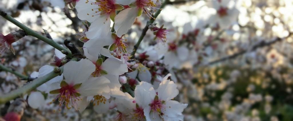 Floracion del Almendro en Baza