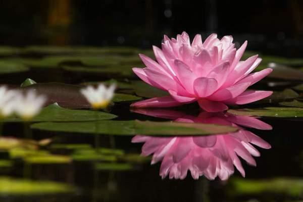 Symboliek - Laat je inspireren door de Lotus bloem!