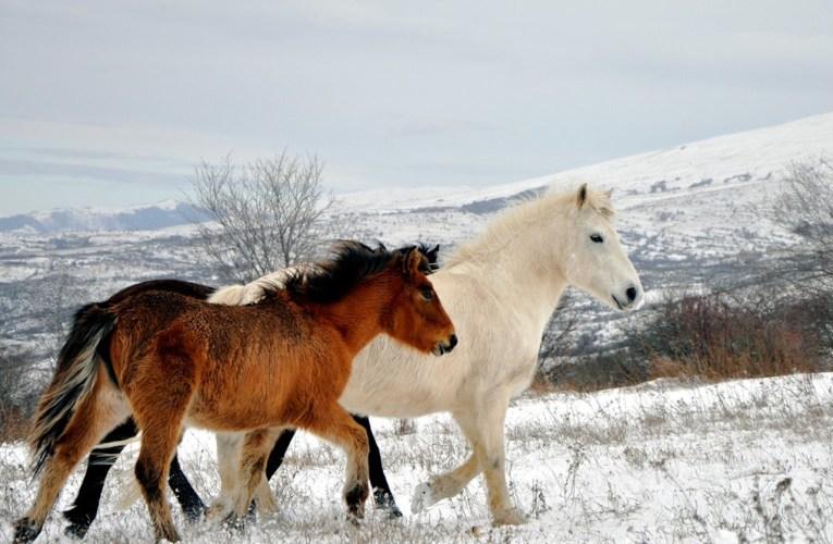 Cavalli, renne e bisonti possono salvare il clima?
