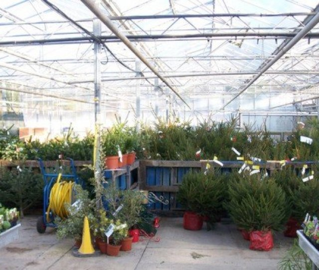 Green Holidays Living Christmas Tree Potted Christmas Tree Living Christmas Tree Rental