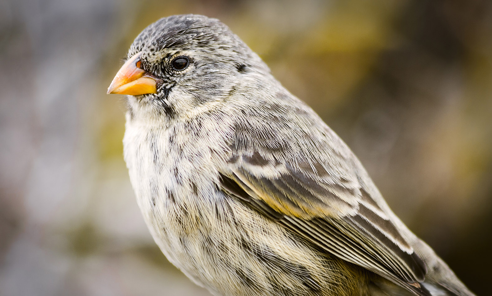Darwin S Finches Face Potential Extinction