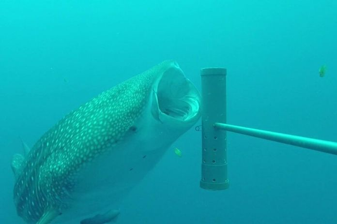 Whale shark eating small yellow fish