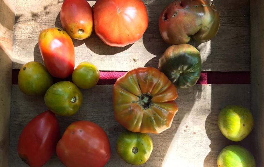 tomatoes in a box suburban gardening