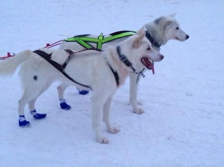 Bootie wearing huskies