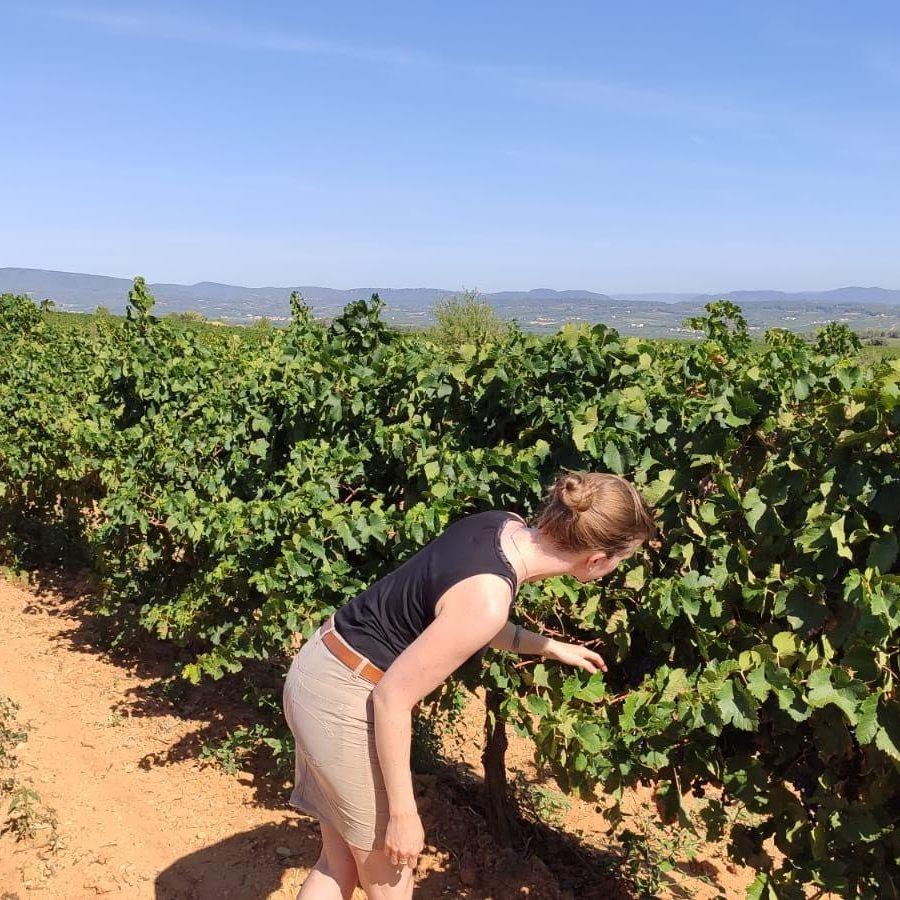 Druiven Mas Comtal wijngaarden