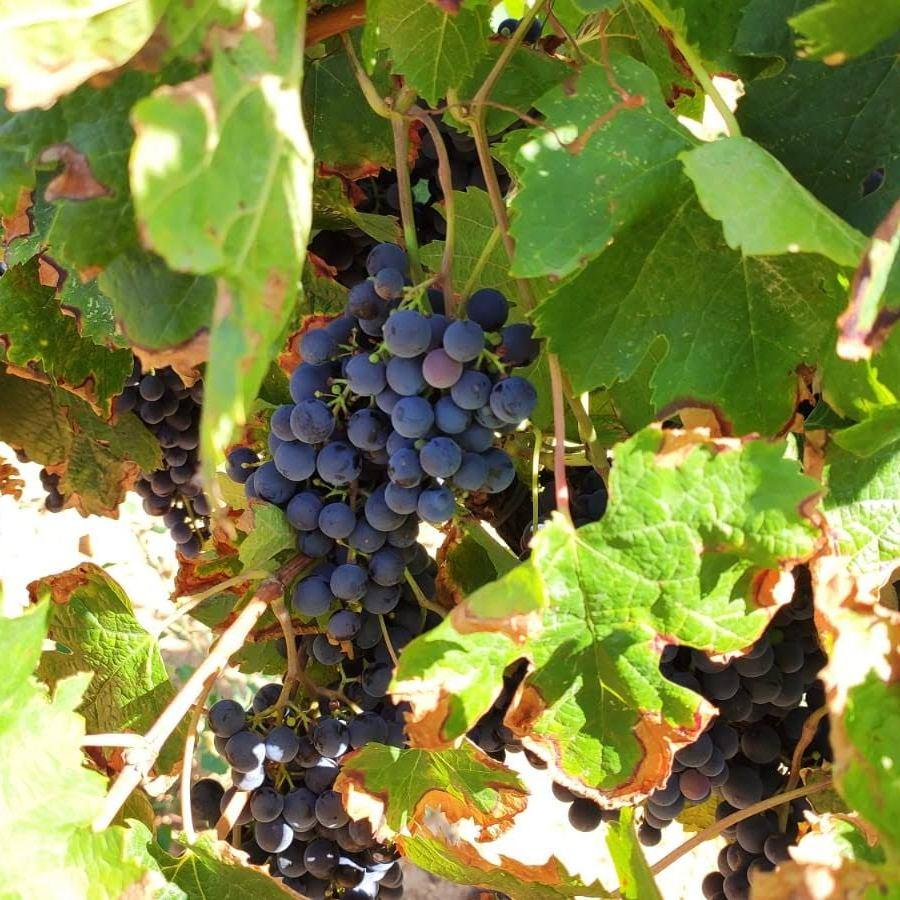 Blauwe druiven Penedes