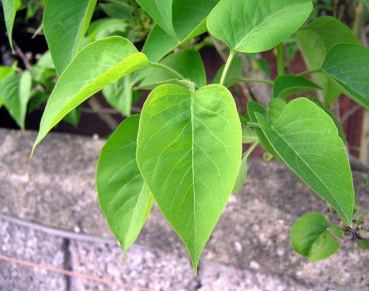 பச்சையம் (Chlorophyll)