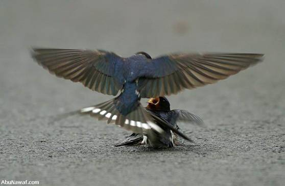 swallow 02