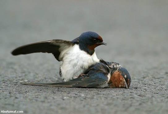 swallow 03