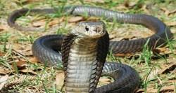 Ngeri, Ular King Cobra Gigit Pemuda di Depok Hingga Tewas