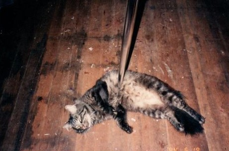 Photo of Maine Coon cat wrapped around table leg