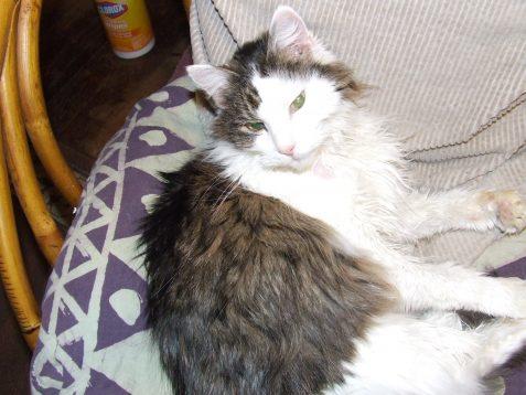 Photo of angora cat with tabby stripes
