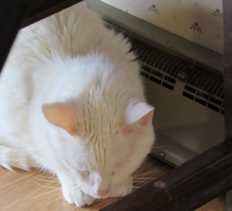 Photo of white cat by heat register