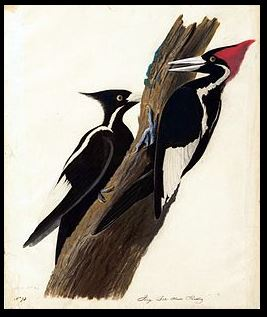 Public domain Audubon illustration of Ivory-billed Woodpecker