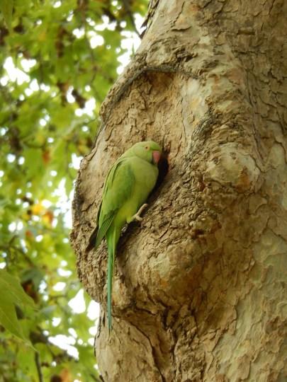 Parakeet, Kew.