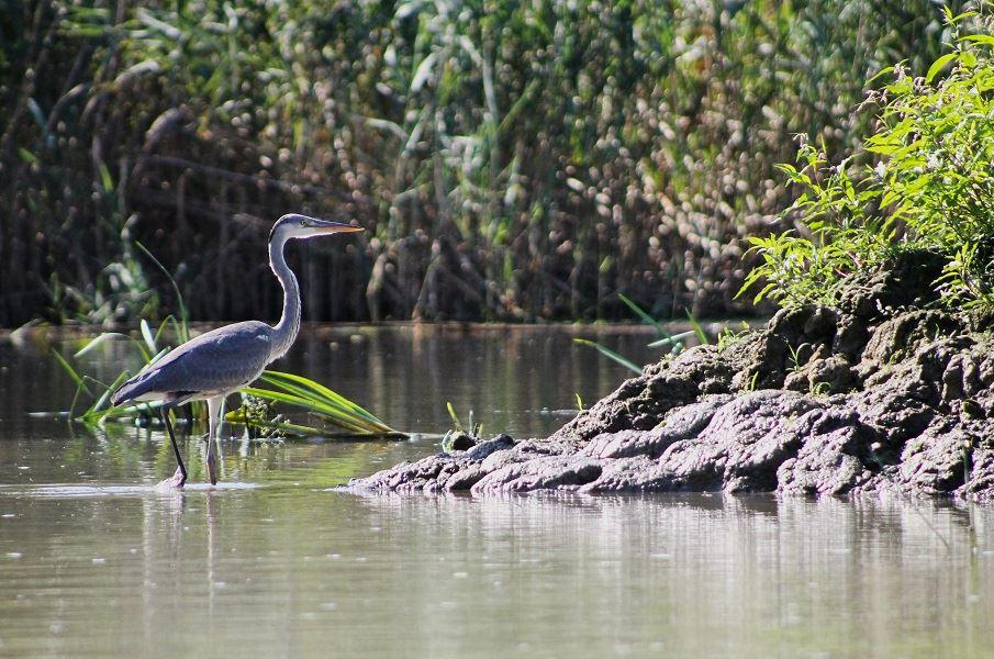 delta-du-danube-oiseaux-heron