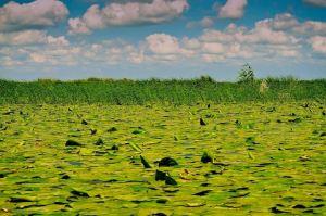 safari-photos-delta-du-danube-nenuphars