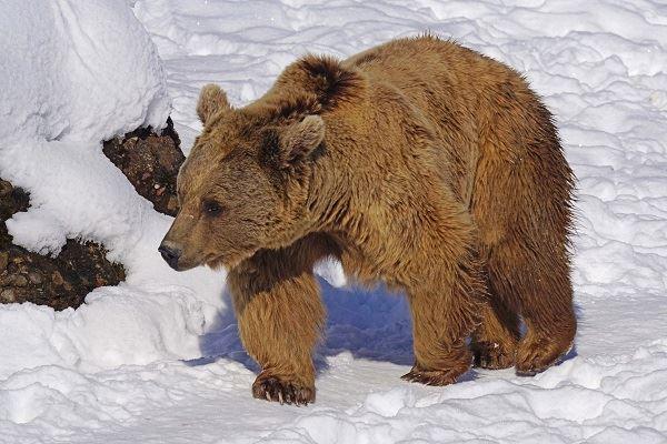 observation-des-ours-des-carpates-en-transylvanie-hibernation